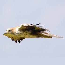 Bonelli's eagle, neandertals