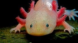 Salamander's Genome Guards Secrets of Limb Regrowth