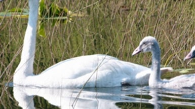 Trumpeter Swans Rebound, with an Assist from Global Warming