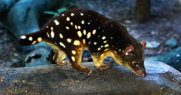 Speeding Up Evolution to Save an Australian Marsupial from Toxic Toads