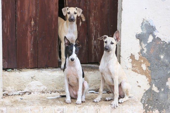 Feral Dogs Respond to Human Hand Cues