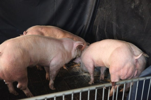 Super-Muscular Pigs Created by Small Genetic Tweak