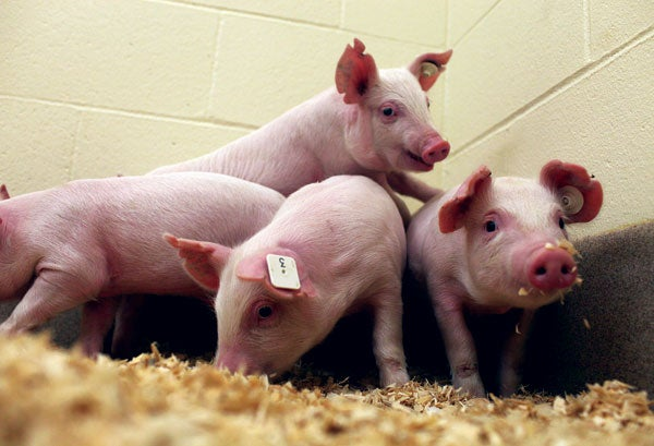 Scientists Breed Pigs Resistant to a Devastating Infection Using CRISPR