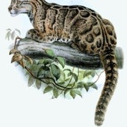 Could Extinct Clouded Leopards Be Reintroduced in Taiwan?