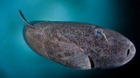 Caught on Camera: Ancient Greenland Sharks