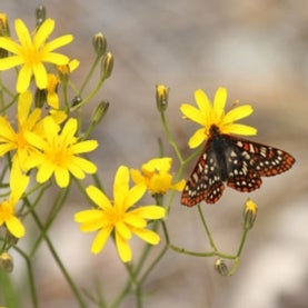 quino-checkerspot-butterfly