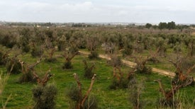 Gridlock over Italy's Olive Tree Deaths Starts to Ease