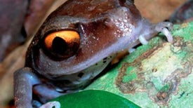 A Decade of New Species Discoveries in the Himalayas [Slide Show]