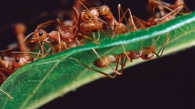 The Spiders That Would Be Ants