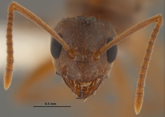 The Rise Of The Crazy Ants Scientific American