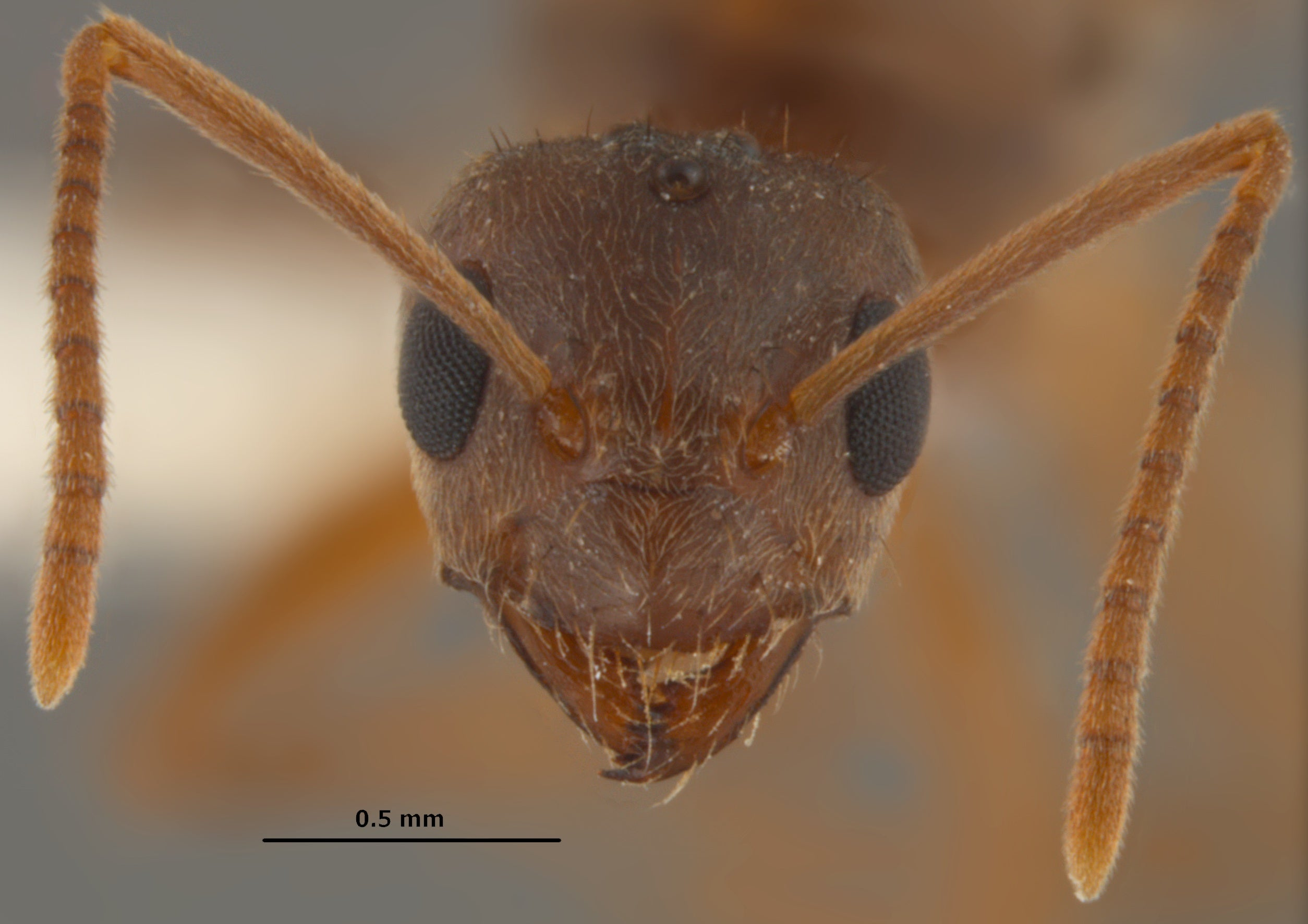 The rise of the crazy ants scientific american buycottarizona Choice Image