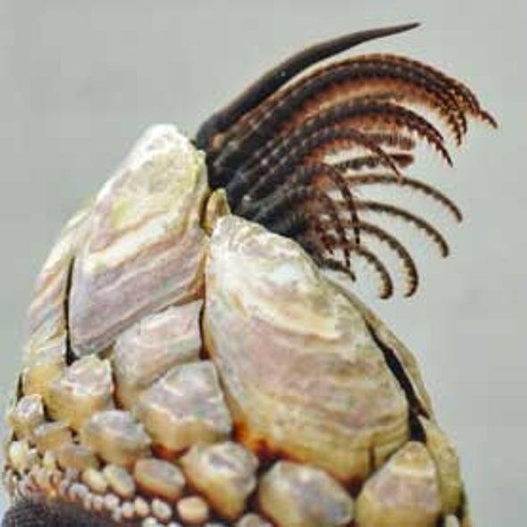 barnacles mate via spermcasting scientific american