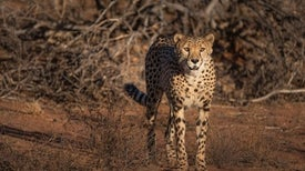 How to Avoid Becoming a Meal for a Cheetah