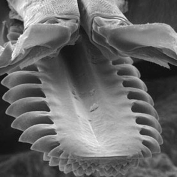 Ticks Latch On with Telescoping, Barbed Mouthparts