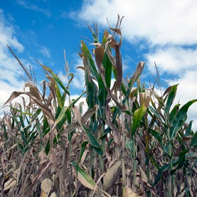 corn-in-2012-drought