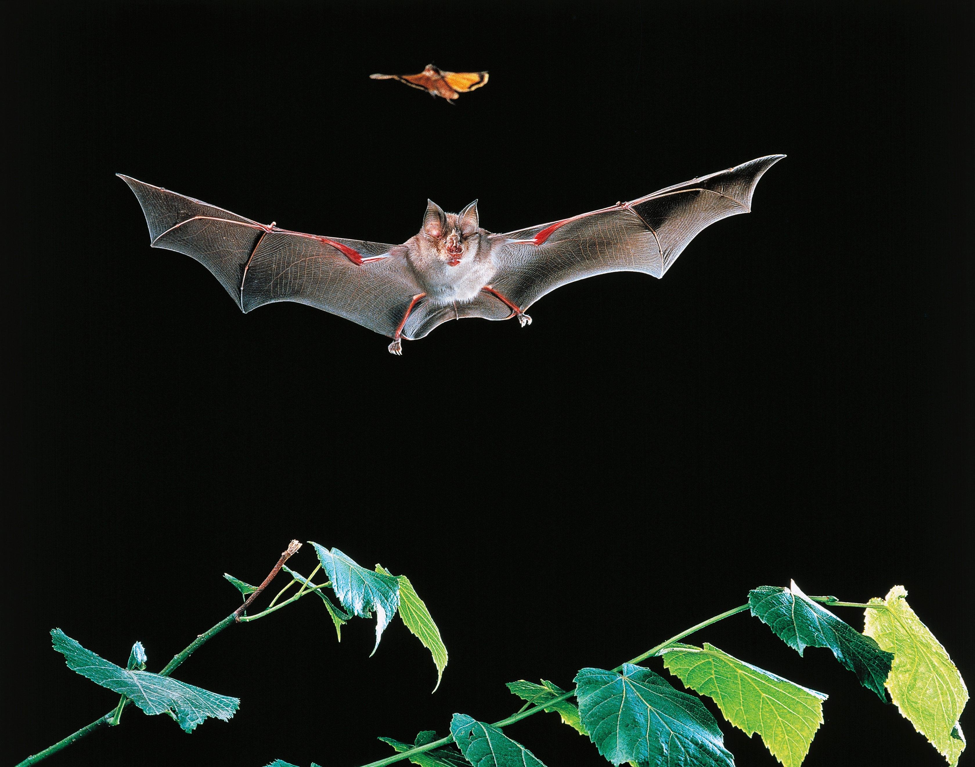 bat killings by wind energy turbines continue scientific american