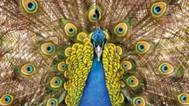 Understanding How Animals Create Dazzling Colors Could Lead to Brilliant New Nanotechnologies
