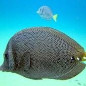 Razor Surgeonfish (or Yellowtail Surgeonfish)