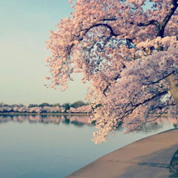 How Cherry Blossoms Came into U.S. Popularity
