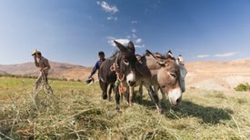 Farming Invented Twice in the Middle East, Genomes Study Reveals