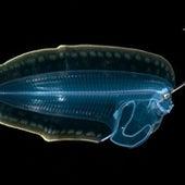 A larval flounder,