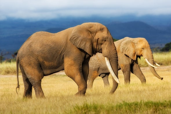 Honey Bee Alarm Signal Could Protect Elephants