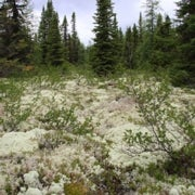 Shift in Northern Forests Could Increase Global Warming