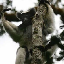 For Want of a Tree, the Ecosystem of Madagascar Might Be Lost