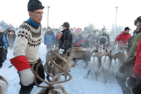 The Fight for the Reindeer