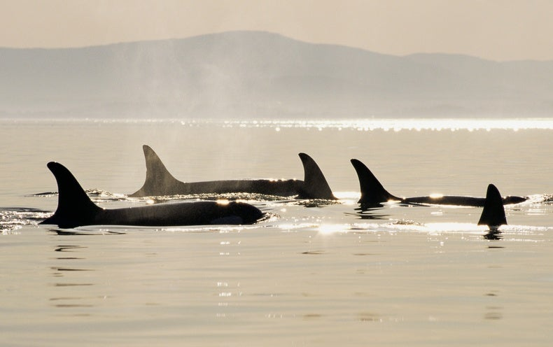 Cetaceans' Big Brains Are Linked to Their Rich Social Life