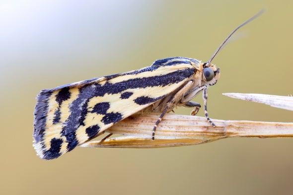 Moths Flee or Face Bats, Depending on Toxicity