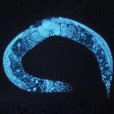 C-elegans