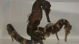 Seahorses' Genome Explains Why They Are So Weird