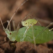 Little Aphids Ride Big Ones To Safety
