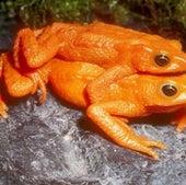 The scarlet harlequin frog