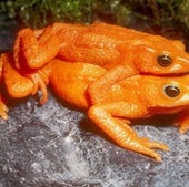 The scarlet harlequin frog