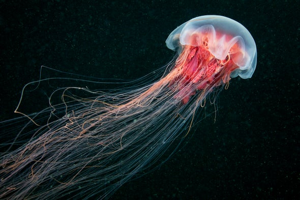 Fact or Fiction?: Urinating on a Jellyfish Sting is an