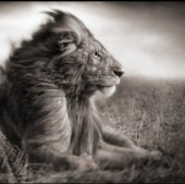 LION BEFORE STORM II—SITTING PROFILE