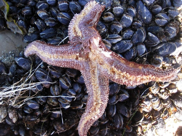 First Clues Found in Mysterious Sea Star Die-Off