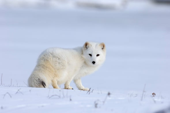 """Extreme Snows in Greenland Caused Ecosystem's """"Reproductive Collapse"""""""
