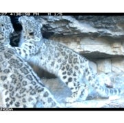 Camera Traps Reveal Secretive Snow Leopards up Close [Slide Show]
