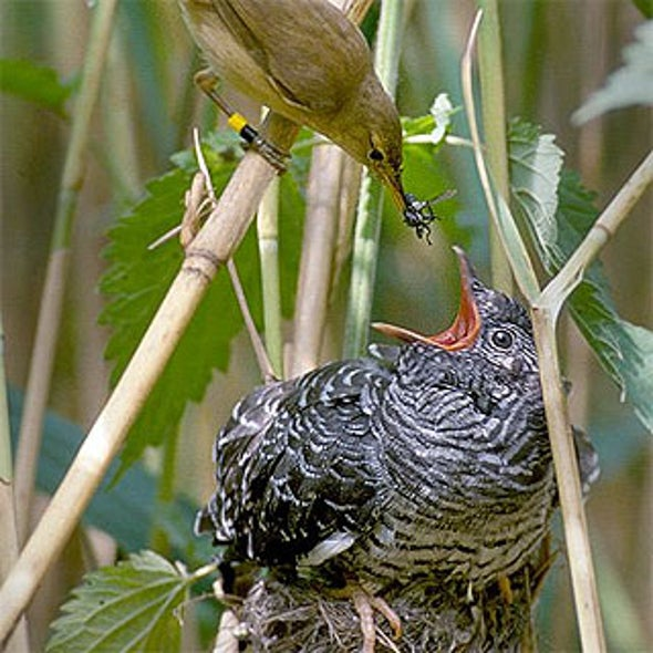 Faux Hawk: Why Do Cuckoos Mimic Raptors?