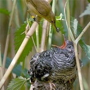 Faux Hawk: Why Do Cuckoos Mimic Raptors?