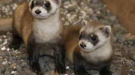 Vaccinate Prairie Dogs to Save Ferrets