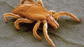 """Lyme Disease May Linger for 1 in 5 Because of """"Persisters"""""""
