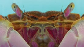 Crab's Brain Encodes Complex Memories