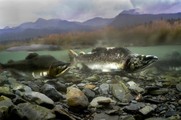 Salmon Spawning May Move Mountains