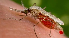 'Gene Drive' Mosquitoes Engineered to Fight Malaria