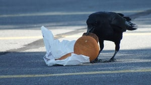 Cholesterol Climbs after Crows Chomp Cheeseburgers