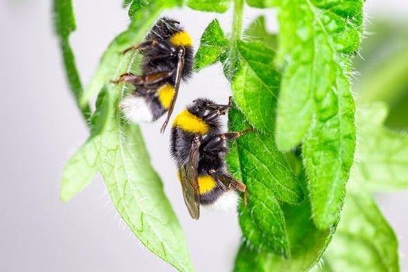 Bumblebees Bite Plants to Force Them to Flower (Seriously)